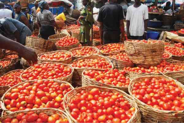Nigeria : Combat Pests To Boost Tomatoe Production – Gombe Farmers Cry Out