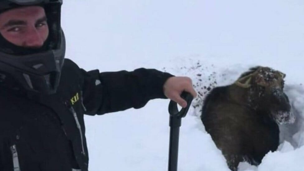Stuck Canadian moose rescued by snowmobilers